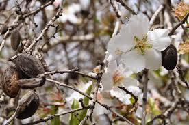 almondtree